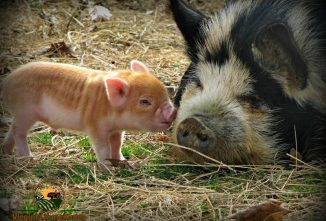 KuneKune Pigs: A Hardy Homestead Breed