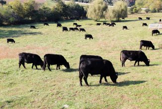 How to Create a Cattle Pasture for Optimum Flavor and Fat Cover in Grass-fed Beef