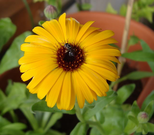 growing-calendula-from-seed