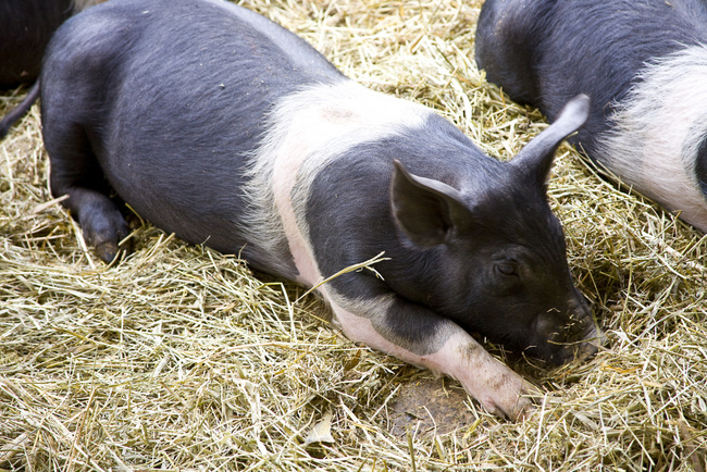 Hampshire Pig for Meat and Breeding - Countryside