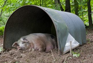 Different Types of Housing for Pigs