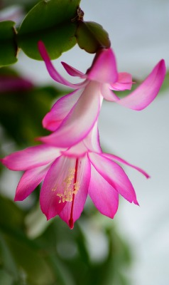 how-to-grow-christmas-cactus