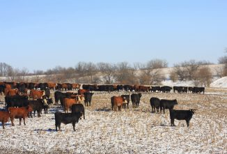 Watering Cattle in Winter