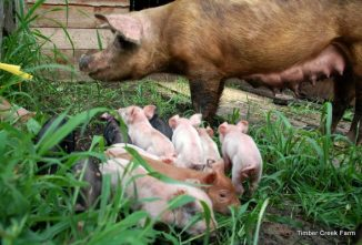 10 Pig Breeds for the Homestead