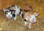 Raising Piglets - Off to a Successful Start