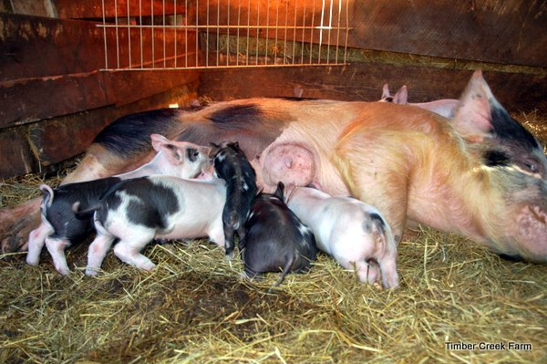 Raising Piglets - Off to a Successful Start - Countryside