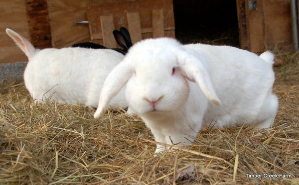 How the Bot Fly Causes Warbles in Rabbits - Countryside