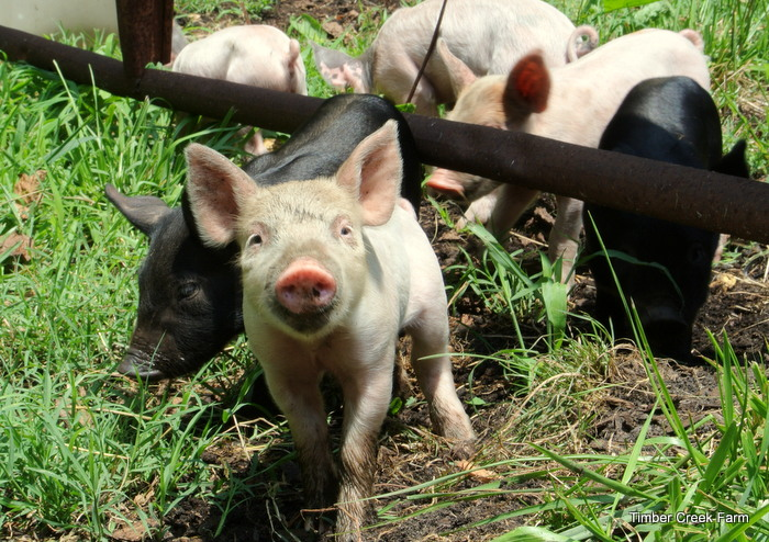 10 Pig Breeds for the Homestead - Countryside