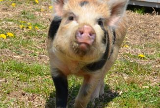 8 Pig Diseases the Small Producer Should Know