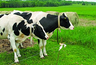 Selecting the Best Dairy Cow Breed