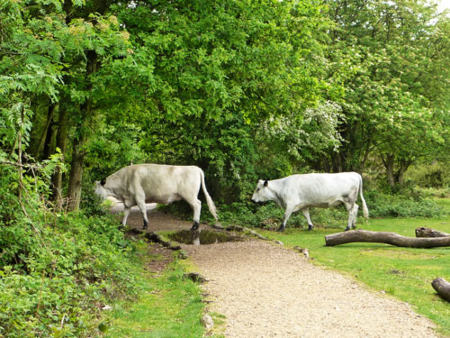 british-white-cattle