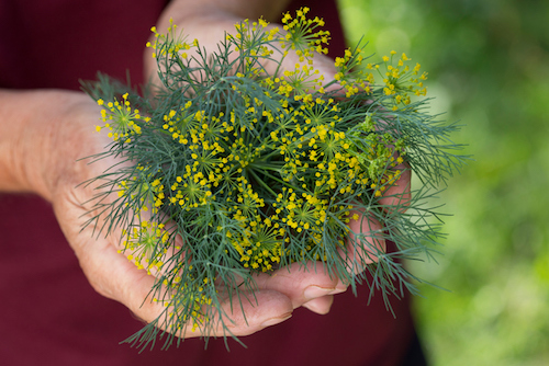 The Delicious Dill Plant and Its Many Uses