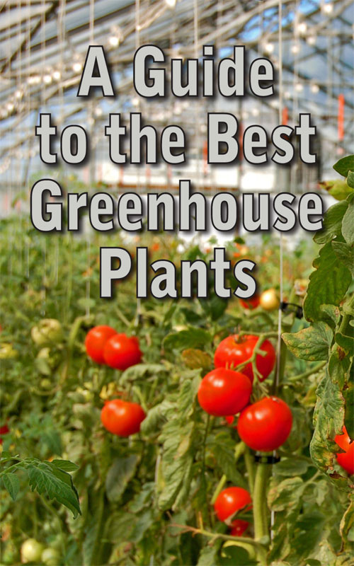 Best Greenhouse Plants