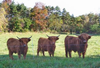 The Joy of Raising Highland Cattle