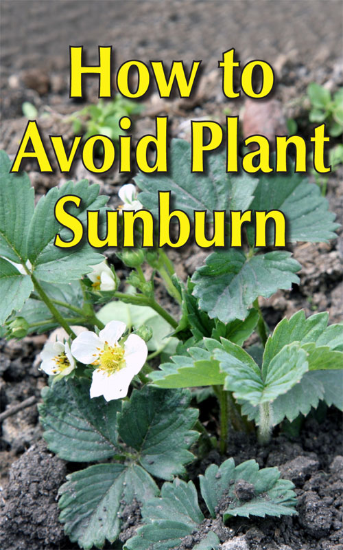 Avoid Plant Sunburn