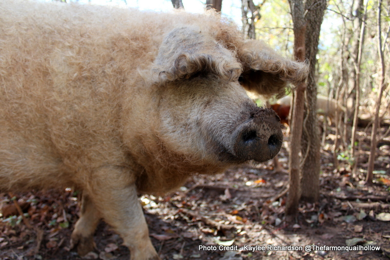 7 Pasture Pig Breeds for the Small Farm - Countryside