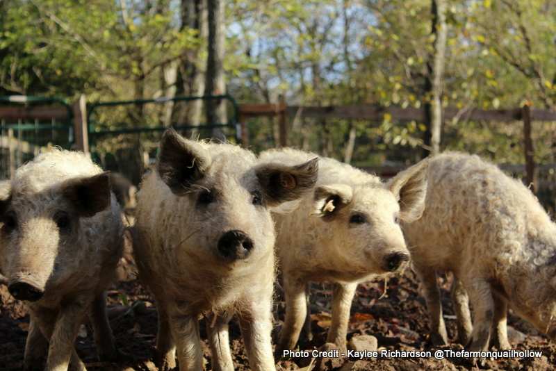 7 Pasture Pig Breeds for the Small Farm
