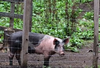 Hampshire Pig for Meat and Breeding