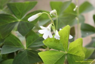 How to Care for a Shamrock Plant