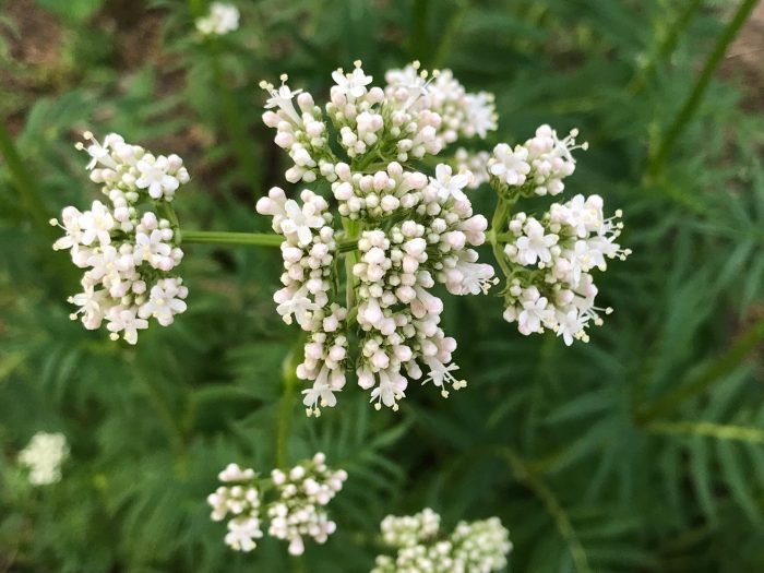 Growing Valerian: Taking Root in the Garden