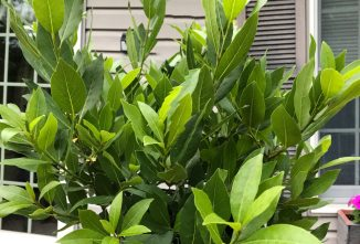 Growing Bay Leaves is Easy and Rewarding