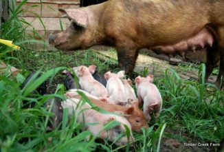 How to Start Raising Pigs on Pasture