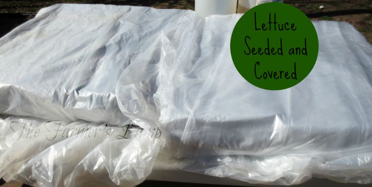 growing-lettuce-in-containers