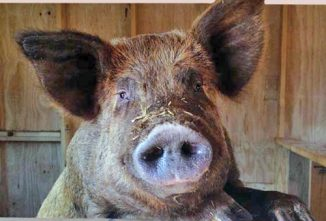 Misery Loves Company: Raising a Tamworth Pig