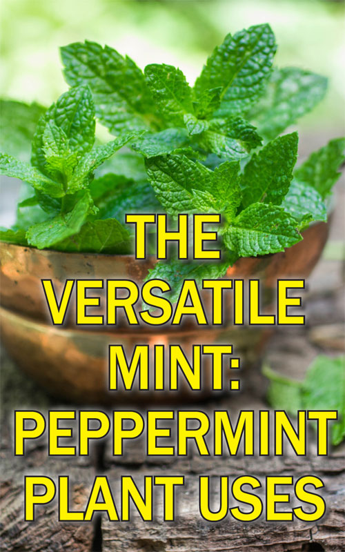 Peppermint Plant Uses