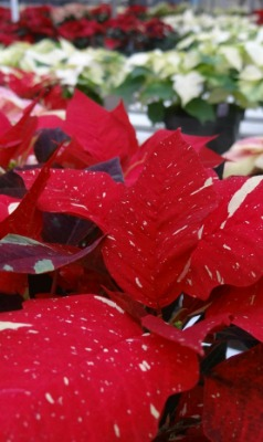 how-to-take-care-of-a-poinsettia-plant