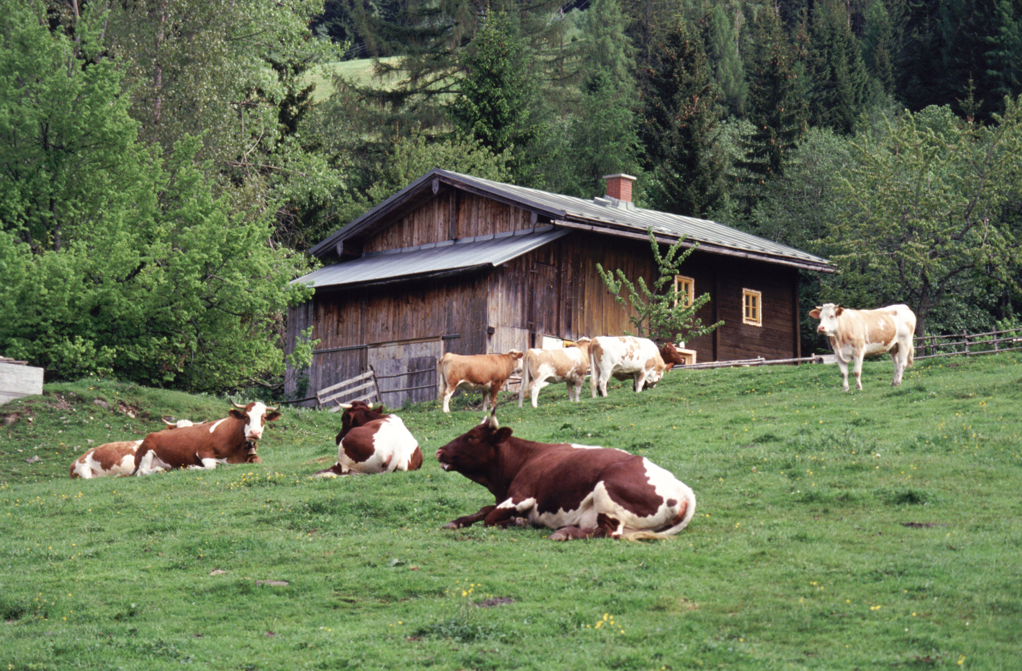 Improving Soil with Cattle and The Best Green Manure Crops