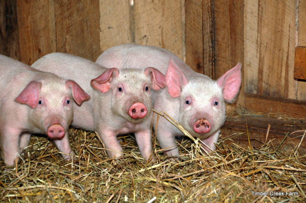 10 Pig Breeds For The Homestead Countryside