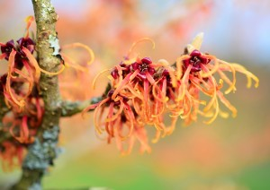 witch-hazel-uses