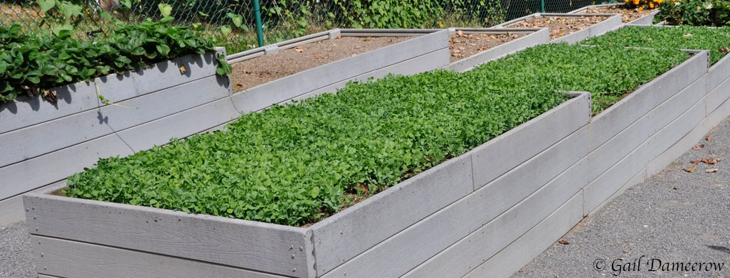 Winterize Your Garden with a Cover Crop of Austrian Winter Peas