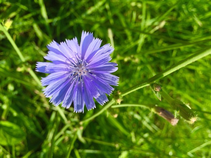 The Many Uses of the Chicory Plant