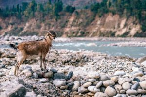 Boost your camp site and hiking tours with the option of a goat companion.