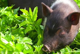5 Hog Breeds for the Backyard Homesteader