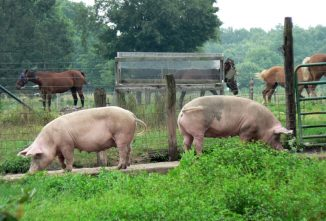 Pig Pointers: Pig Farming for Beginners