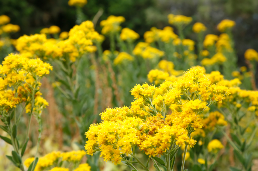 Extract Natural Dye for Wool from Goldenrod Plants