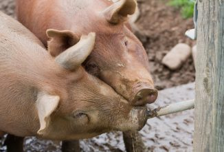 How to Make a Homemade Pig Waterer