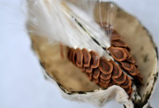 Milkweed Plant: A Truly Remarkable Wild Vegetable