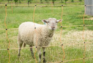 The Shocking Truth About Electric Fencing for Sheep