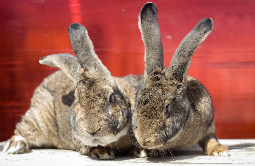 5 Tips for How to Breed Rabbits