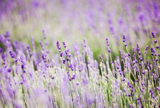 How I Learned to Care for the Lavender Plant