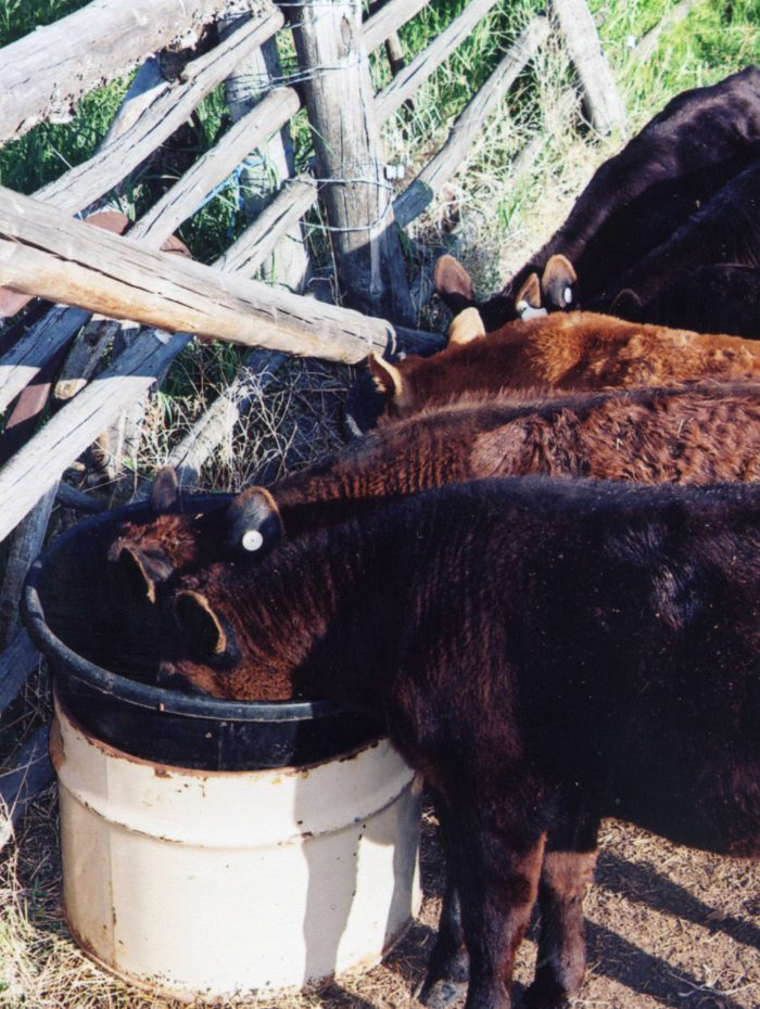 Tips for Successfully Raising Bottle Calves - Countryside