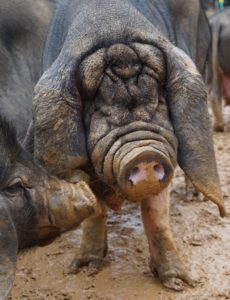 Older Meishan sow courtesy of Jeannette Beranger from The Livestock Conservancy