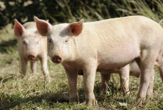 Raising Pigs for Meat in Your Own Backyard