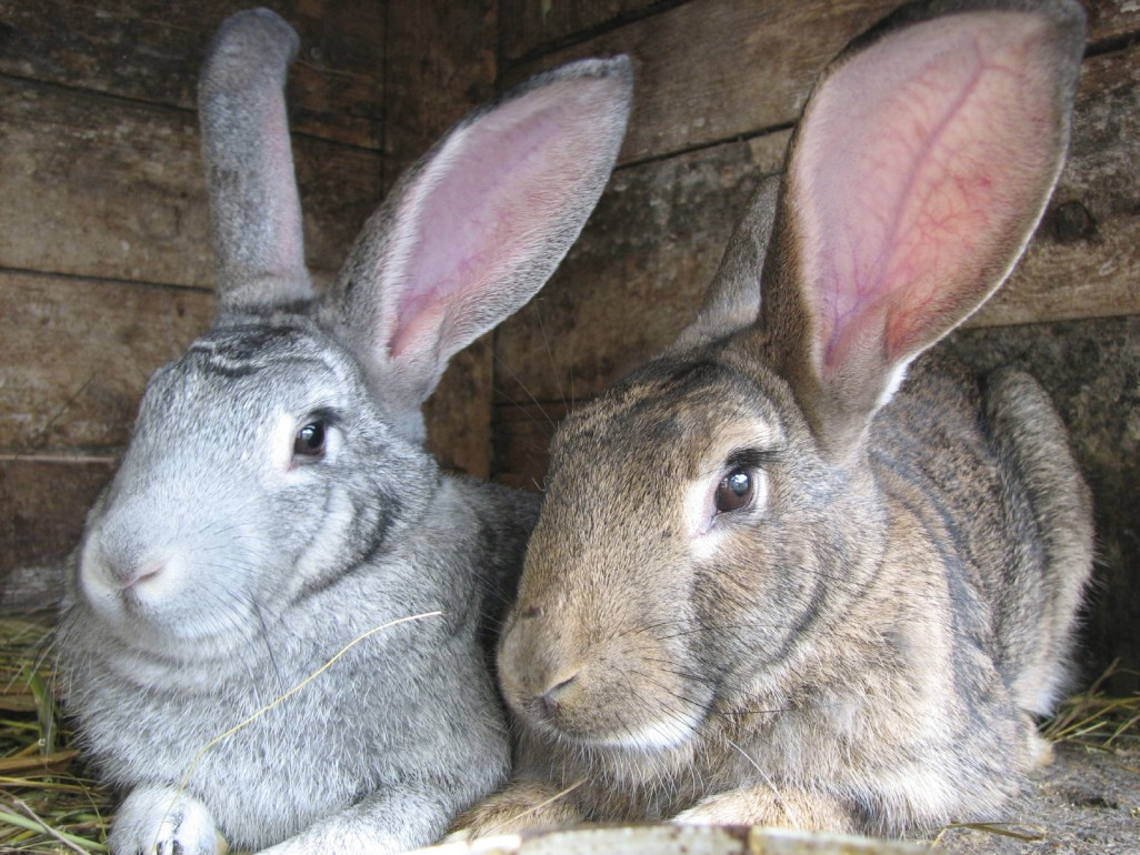 Raising Meat Rabbits Economically