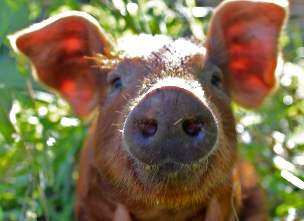red-wattle-pigs