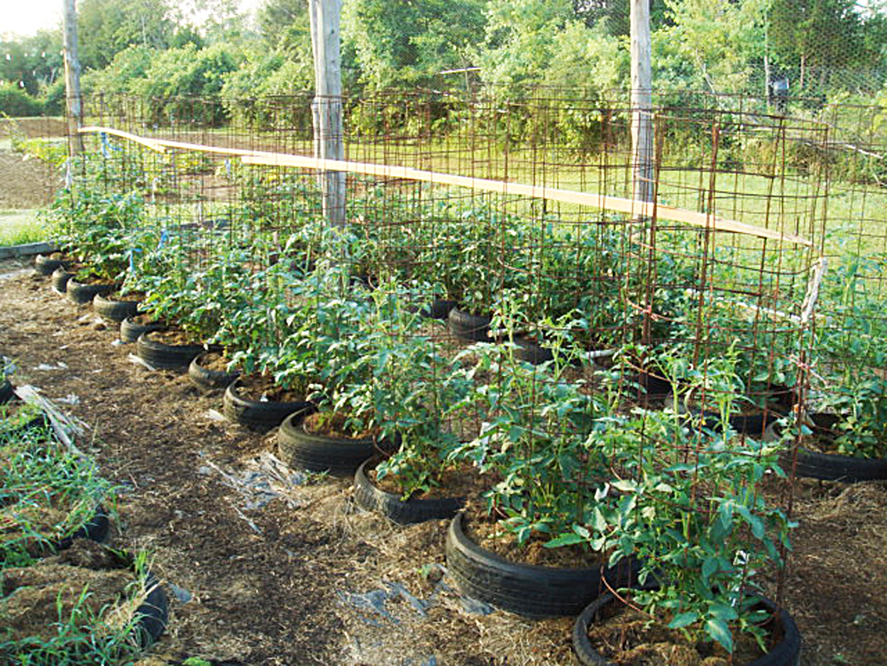 How To Care For Tomato Plants In Tires Countryside